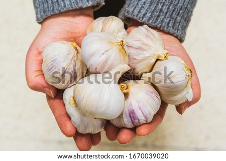 Garlic cloves and Bulb in hand. Natural antibiotic made from garlic. Natural virus immune system. Coronavirus infection antibiotic. Traditional medicine and ethnoscience concept. Flu infection garlic. #1670039020