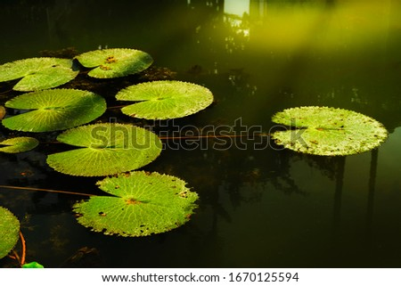 Lotus leaves floating on water surface in the lake. #1670125594