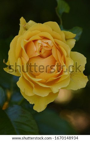 Yellow rose flower close up picture