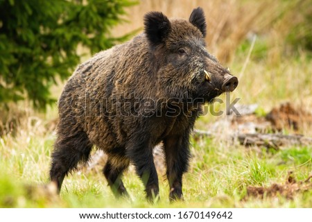 Dominant wild boar, sus scrofa, male sniffing with massive snout with white tusks on meadow. Majestic wild mammal standing on grass in spring from side view Royalty-Free Stock Photo #1670149642
