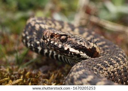 Portugese Viper (Vipera seoanei) from North of Spain #1670205253