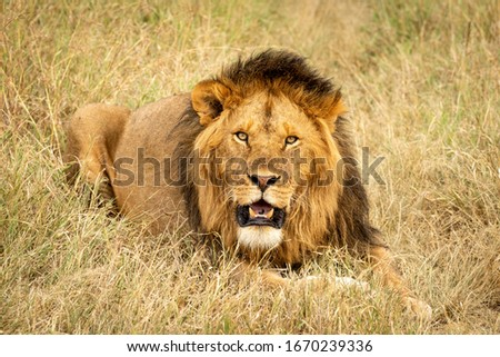 Male lion lying in grass eyeing camera #1670239336