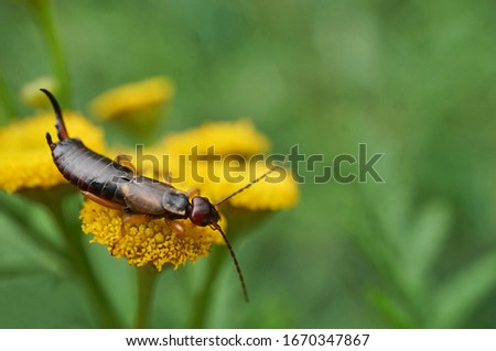 Common earwig on a flower