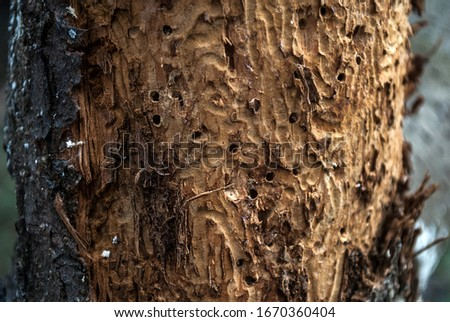 A fragment of a tree is an infected bark beetle. Background of wood.