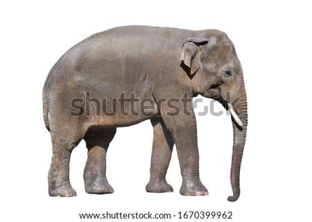 Asian elephant Elephas maximus isolated with white background  Royalty-Free Stock Photo #1670399962