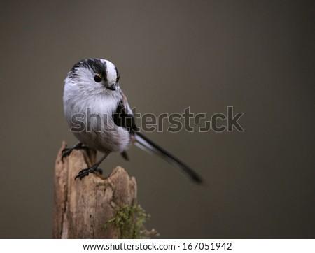 long-tailed bushtit [Aegithalos caudatus] #167051942