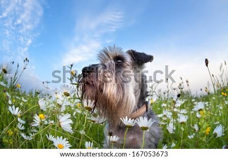 cute miniature schnauzer dog among chamomile  flowers #167053673