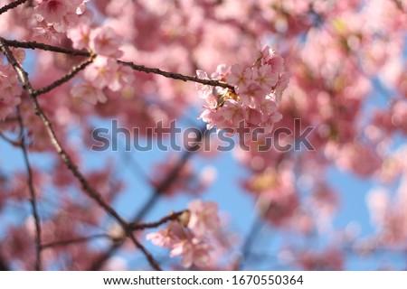 Close up of pink cherry blossoms (sakura) against blue sky, wallpaper background, soft focus #1670550364