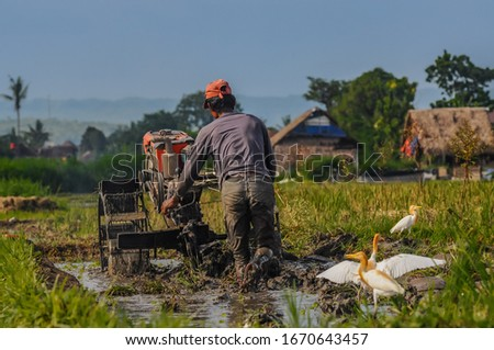 an Asian farmer plowing a rice field surrounded by cattle egret (bubulcus ibis) #1670643457
