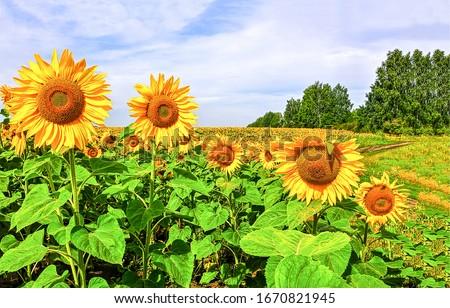 Sunflowers field summer scene. Sunflower field. Sunflower flowers view. Sunflowers field view #1670821945