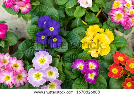 Many Primula primrose blossom top view design. Red pink blue yellow spring flower in a pot. Primula primrose colorful background wallpaper backdrop