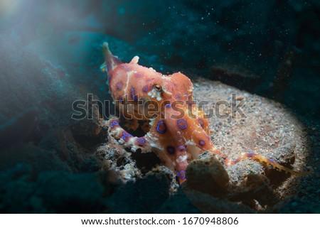 Blue rings octopus. The most dangerous underwater  octopus. Indian ocean. Indonesia. Asia