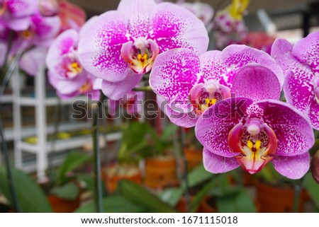 Purple flower phalaenopsis orchid . commonly known as the moon orchid or moth orchid butterfly orchids. pink Phalaenopsis or Moth dendrobium Orchid flower. Phalaenopsis amabilis. #1671115018