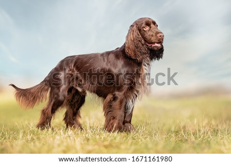 field spaniel in open air Royalty-Free Stock Photo #1671161980