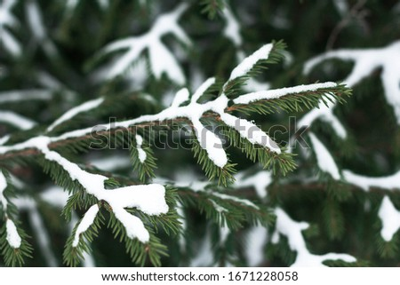 White snow on spruce branches in cold winter #1671228058