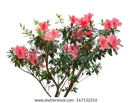 azalea blooming on tree isolated on white background #167132216