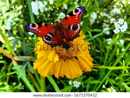 A beautiful picture shows a peacock's eye butterfly. Very bright and beautiful color.
