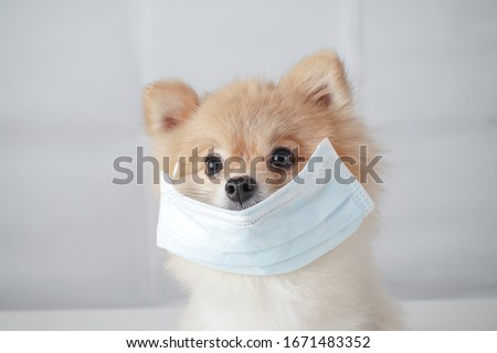 Small dog breeds or Pomeranian with brown hairs sitting on the white table with white background and wearing mask for protect a pollution or disease, Concept virus, coronavirus protection. #1671483352