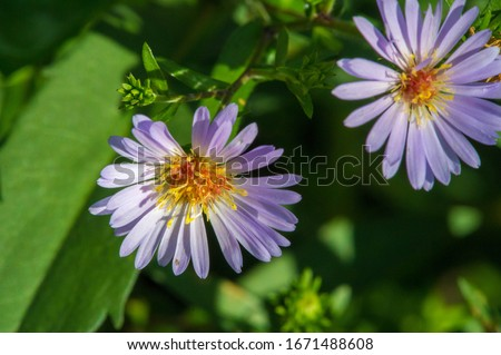 The name Aster comes from the Greek word ἀστήρ, which means the star, which means the shape of the flower head. Varieties are popular as garden plants because of their attractive and vibrant colors #1671488608