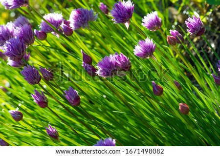 Chives, scientific name Allium schoenoprasum, A perennial plant, it is widespread in nature across much of Europe, Asia, and North America. The plant provides a great deal of nectar for pollinators. #1671498082