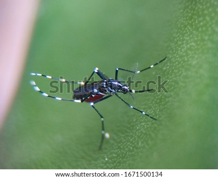 a mosquito perched on a leaf, after sucking blood