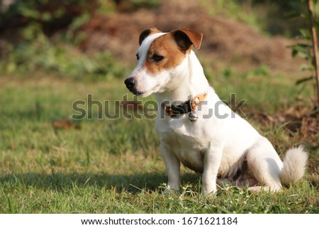 kindly one eye jack russell terrier dog sitting on the grass field #1671621184