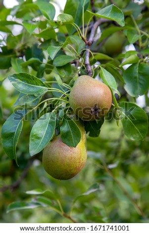 Ripe pears on tree branch. Organic pears in the garden. Close up view of Pears grow on pear tree branch with leaves under sunlight. Selective focus on pears.