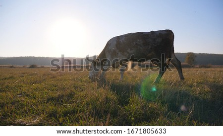 Big cow walking through big field with beautiful countryside landscape at background. Cattle grazing on pasture. Scenic rural scene. Farming concept. Slow motion Side view #1671805633