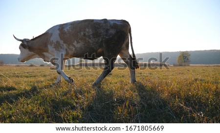 Cow with big horns eating fresh green grass at lawn or field. Cattle grazing on pasture. Beautiful countryside landscape with bright sun at background. Farming concept. Slow motion Dolly shot #1671805669