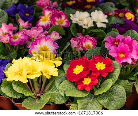 Primula primrose blossom bloom background backdrop design. Red yellow cultivated varietal flower blooming. Primula primrose in a pot at a flower shop