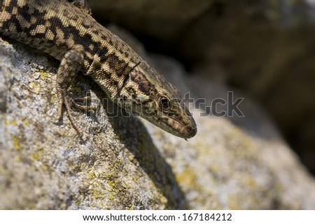 Wall Lizard, Podarcis muralis #167184212