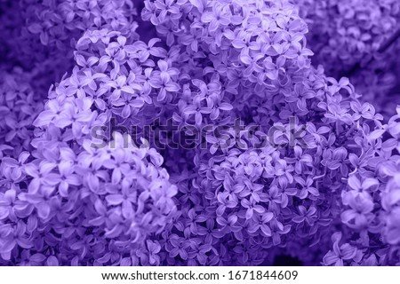 Beautiful lilac flowers. Spring blossom. Blooming lilac bush with tender tiny flower. Purple lilac flower on the bush. Summer time. Background Royalty-Free Stock Photo #1671844609