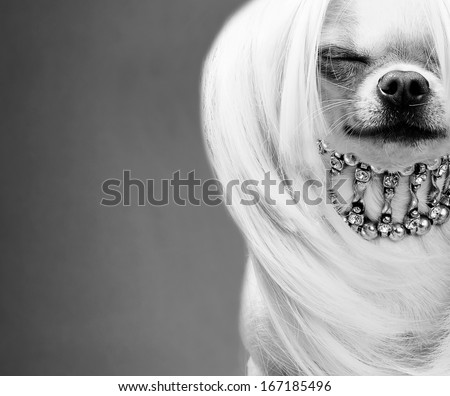 awesome chihuahua dog black and white close up picture