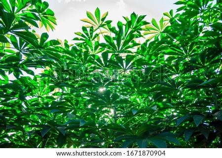 Cassava, also called manioc, yuca, balinghoy, mogo, mandioca, kamoteng kahoy, tapioca and manioc root, a woody shrub of the Euphorbiaceae family native to South America. #1671870904