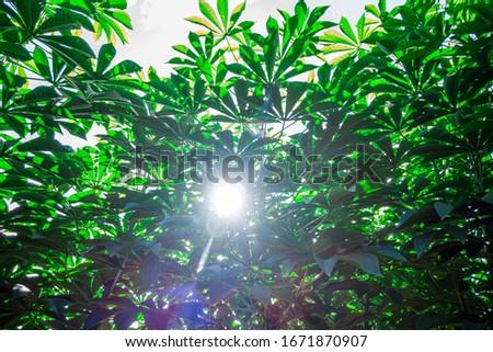 Cassava, also called manioc, yuca, balinghoy, mogo, mandioca, kamoteng kahoy, tapioca and manioc root, a woody shrub of the Euphorbiaceae family native to South America. #1671870907