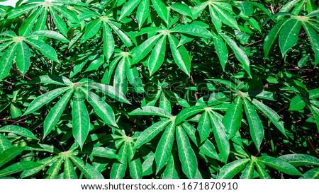 Cassava, also called manioc, yuca, balinghoy, mogo, mandioca, kamoteng kahoy, tapioca and manioc root, a woody shrub of the Euphorbiaceae family native to South America. #1671870910