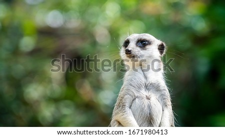 Close-up of a standing meerkat with a natural green background