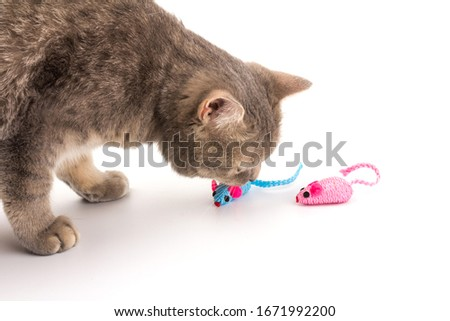 Scottish Cat and two blue and pink toy mice for a pet cat isolated on  white background, close-up