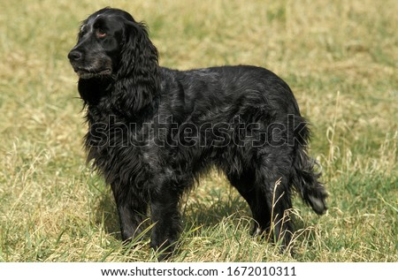 Blue Picardy Spaniel, Dog standing on Grass    Royalty-Free Stock Photo #1672010311