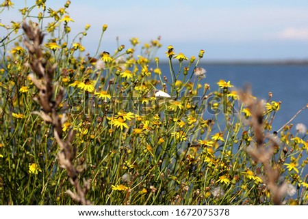 Small white butterfly and other insects perched on yellow flowers. In the deliberately blurred background you can see the blue of the Adriatic sea Italy. #1672075378