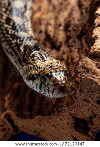 (Pituophis) bullsnake , a large, nonvenomous, colubrid snake #1672120147
