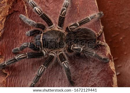 Striped-knee tarantula, or Costa Rican Zebra Tarantula (Aphonopelma seemanni) a large spider from tropical Costa Rica
