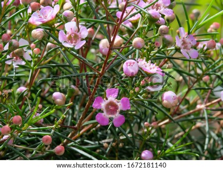 Beautiful flowering of Hooked heraldry  (lat. Chamelaucium uncinatum) #1672181140