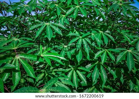 Cassava, also called manioc, yuca, balinghoy, mogo, mandioca, kamoteng kahoy, tapioca and manioc root, a woody shrub of the Euphorbiaceae family native to South America. #1672200619