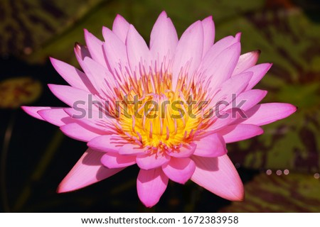 Close-ups Fresh Bloom Pink Nymphaea Water lily or Pink Lotus Flower on the lotus lake - Floral backdrops and beautiful details concept