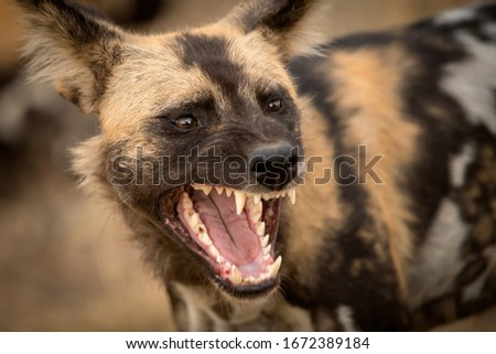 A beautiful detailed close up portrait headshot of an African Wild Dog with its mouth open, snarling and with its teeth bared, taken at sunset in the Madikwe Game Reserve in South Africa. #1672389184