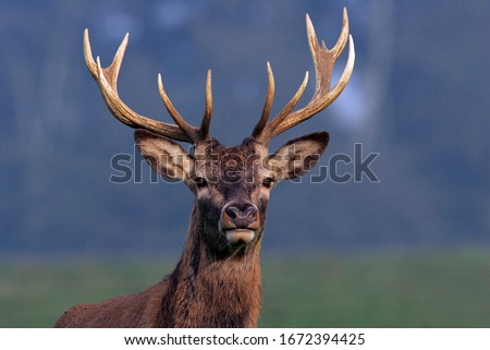 Red Stag during the rut - Red Deer - male (Cervus elaphus) Royalty-Free Stock Photo #1672394425