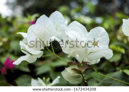 Blooming bougainvillea. Magenta bougainvillea flowers .Bougainvillea flowers as a background. #1672434208