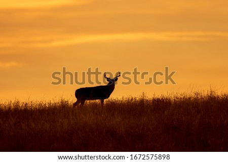 Buck Whitetail Deer at Sunset in Autumn Royalty-Free Stock Photo #1672575898