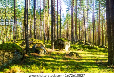 Forest trees sunlight shadows view. Forest pine trees shadows. Pine tree forest background #1672610827
